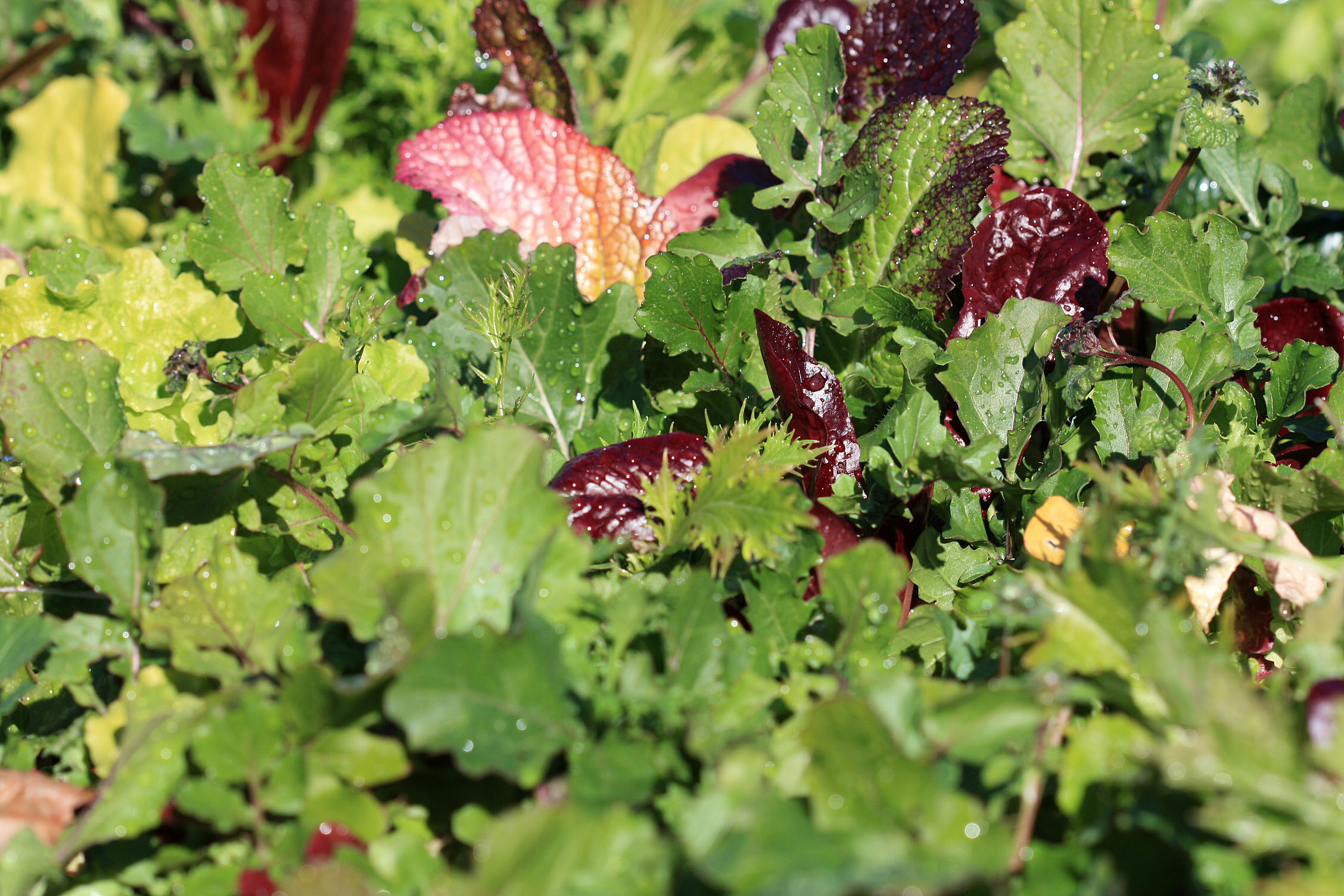 growing winter vegetables the california mediterranean diet