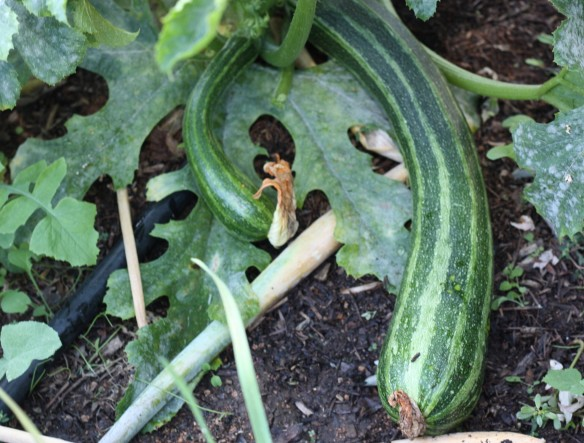 another zucchini that got away