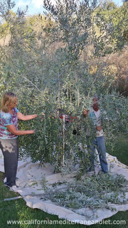 olive-harvest w